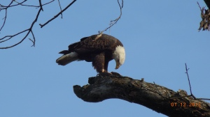 Eagle photo from Gary Ludban on Pretty Lake